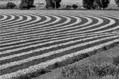Pullman-Field-Rows.BW82